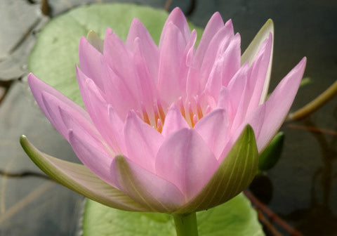 Nymphaea 'Morning Mist' Waterlily