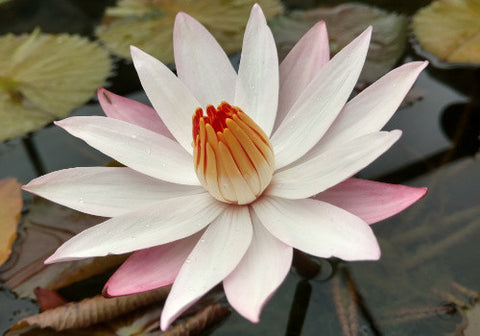 Nymphaea 'Pale Moon' - Night Blooming Waterlily