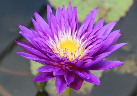Nymphaea 'Plum Crazy' - Purple Day Blooming Annual Waterlily