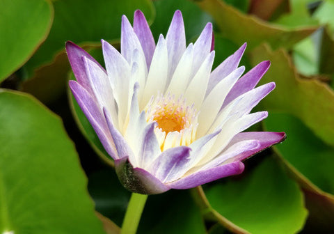 Purple Joy - Annual Waterlily