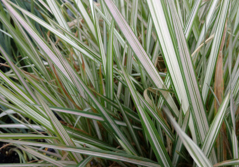 Strawberries and Cream Ribbon Grass (Phalaris arundineacea 'strawberries and cream')