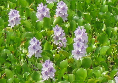 Water Hyacinth - Floating Pond Plant