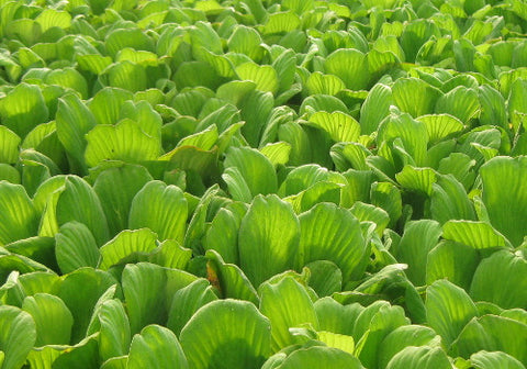Water Lettuce - Floating Pond Plant