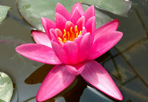 Nymphaea 'Yuh Ling' - Pink Perennial Waterlily