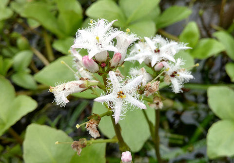 Bog Bean - Surface Pond Plant