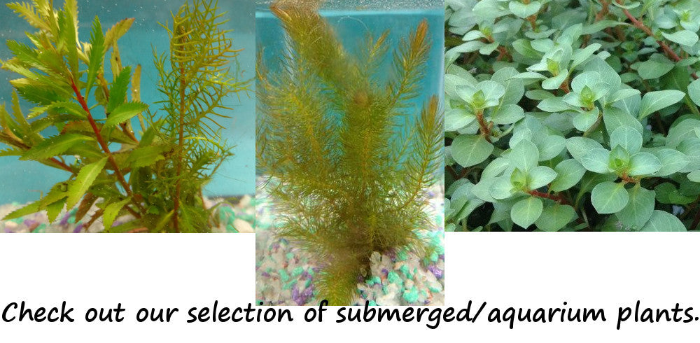Submerged Pond and Aquarium Plants