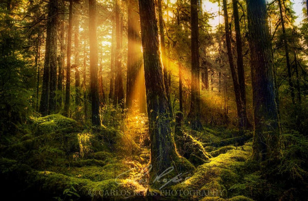 SUNRAYS THROUGH THE FOREST
