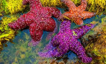 COLORFUL SEA STARS 8x12 ON METAL