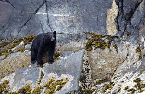 BLACK BEAR ON ROCK FACE MATTED PHOTO