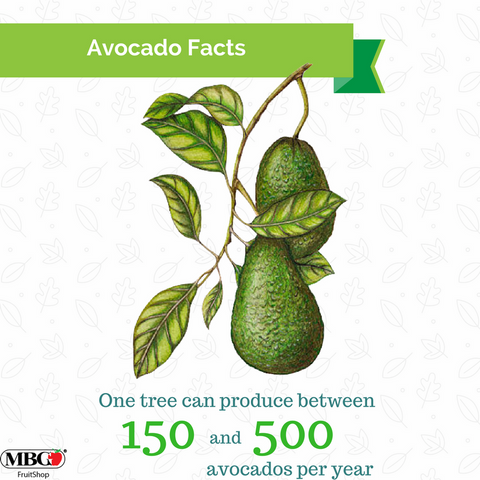 avocado tree can produce between 150 and 500 per year