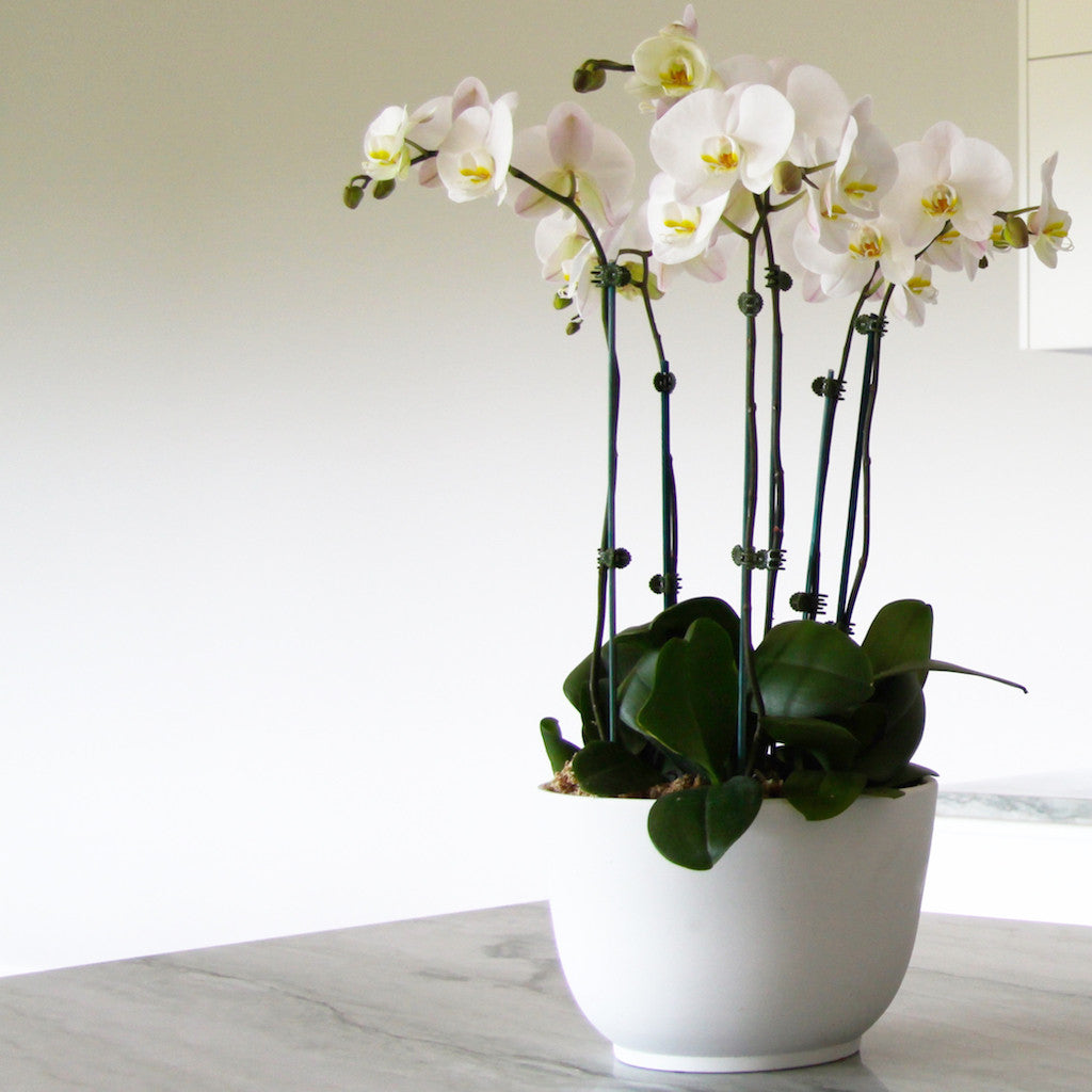 The symbolism of orchids orchid road the symbolism of orchids biocorpaavc