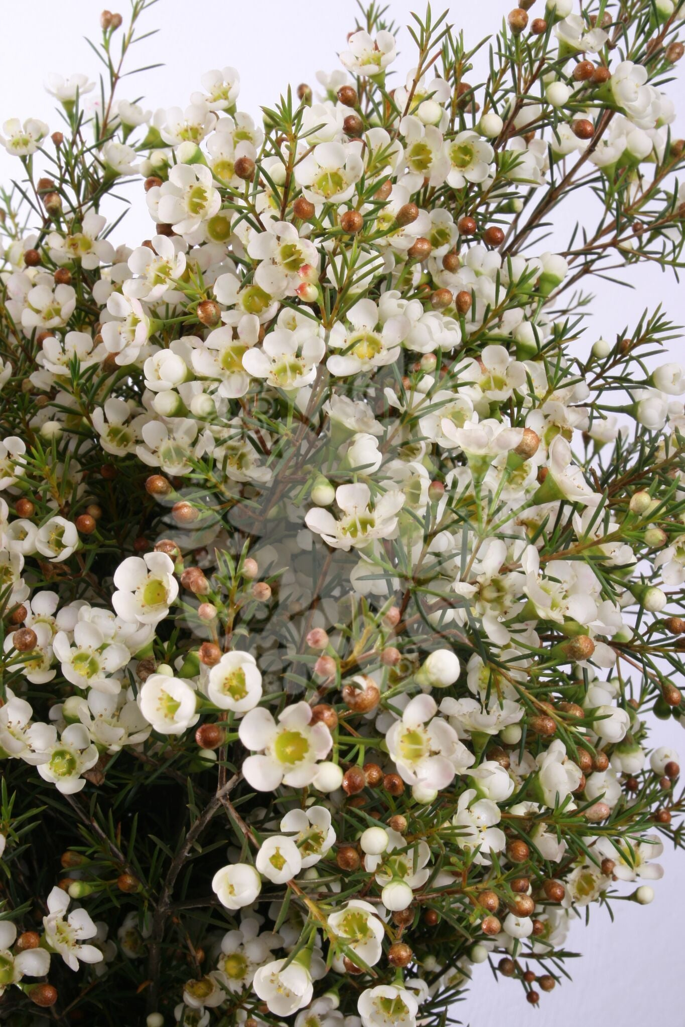Waxflower White Easy Blooms