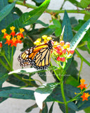 Photo Art - Monarch at the Mission