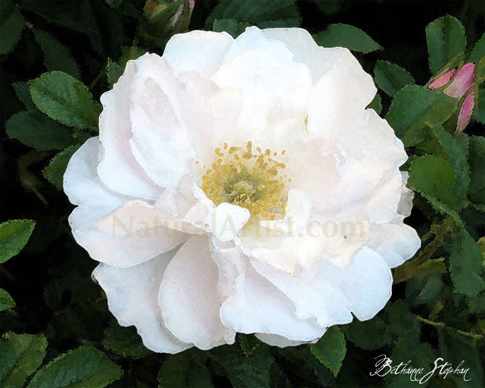 Photo Art - White Carpet Rose