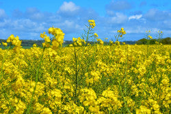 Rapeseed Oil - Outshining in its field!