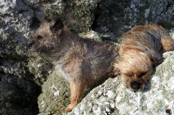 Steve's terriers shielding themselves from the strong winds