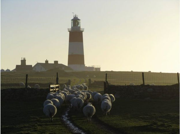 The sheep are led to new pastures on the island