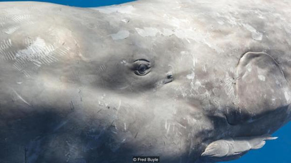 There is a lot going on behind a sperm whale's eyes