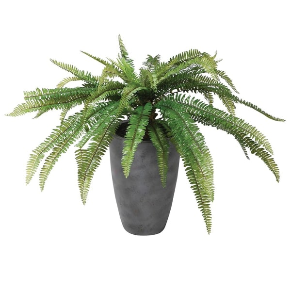 Large Boston Fern Potted