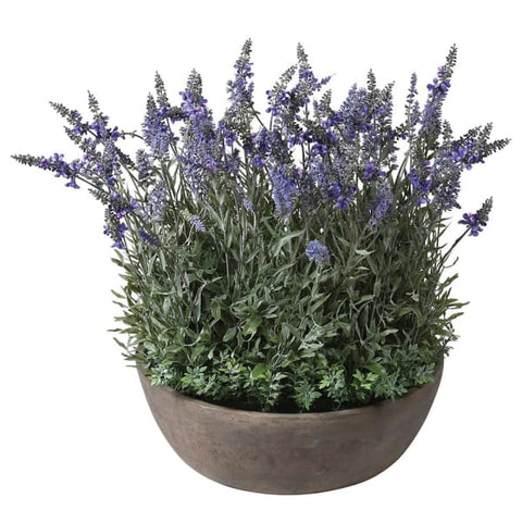 Large Lavender Plant In Round Pot