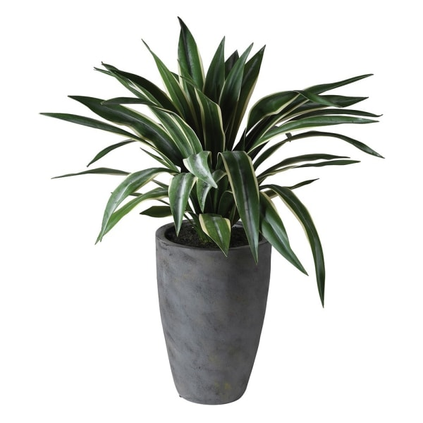Tall Potted Spider Plant In Pot