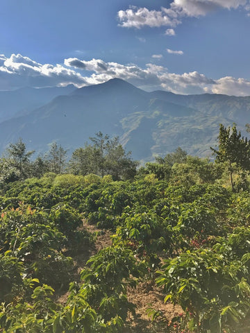 RUTAS DEL INCAS - PERU - COFFEE_-_FILTER_-_ESPRESSO_-_SPECIALTY_-_ARABICA_-_WASHED_PROCESSED_-HARVEST_-_WHOLE_BEAN_-_GROUND_-_V60_-_AEROPRESS