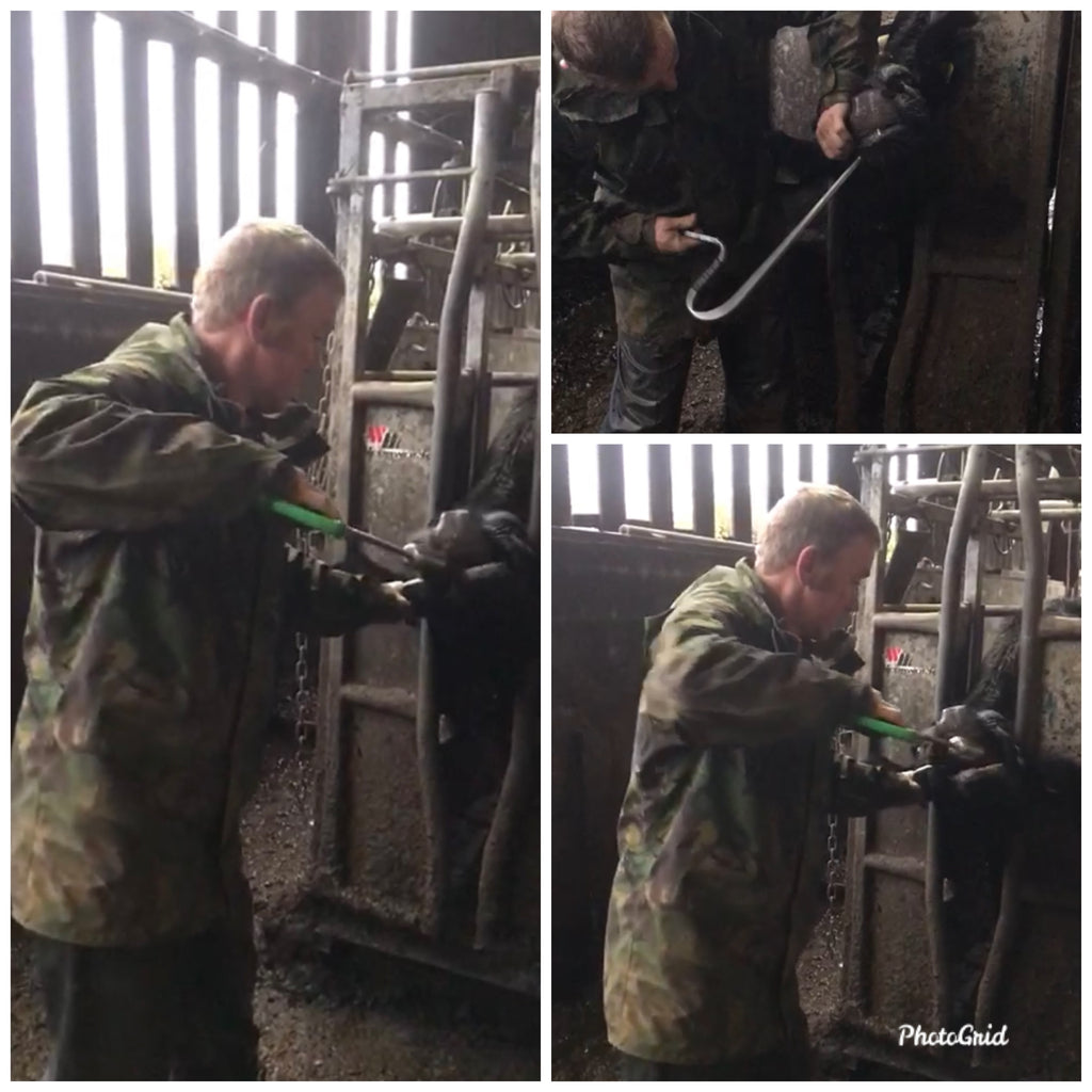 Using the Easy-Boss-E to reduce stress when bolusing cows.