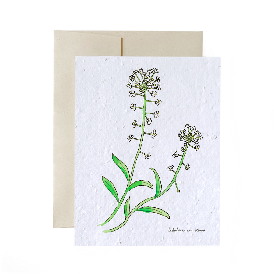 Sweet Alyssum | Card