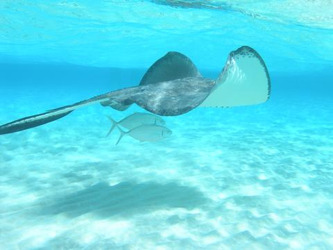 World's Clearest Waters for Scuba Diving - Stingray with 2 fishes swimming on crystal clear water