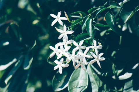 Jasmine relaxes nerves and stimulates brain waves!