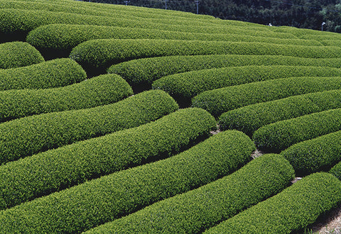 Regular Pruning and Harvesting Tea Bushes Produce the Best Tea