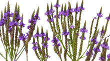 Blue Vervain - Aerial Parts in Flower - Certified Biodynamic and Organic