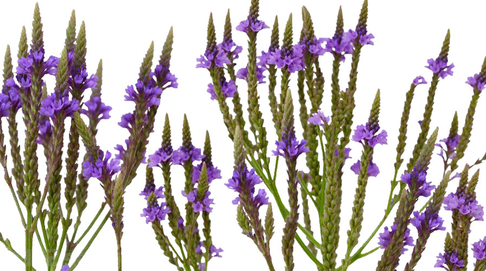 Blue Vervain Leaf / Flower- Certified Biodynamic and Certified Organic