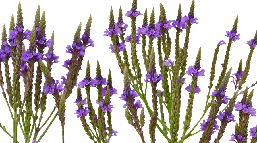Blue Vervain - Leaf/Flower- Certified Biodynamic and Organic