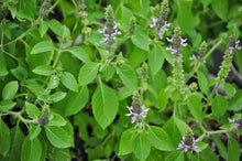 Holy Basil Leaf / Flower- Certified Biodynamic and Certified Organic