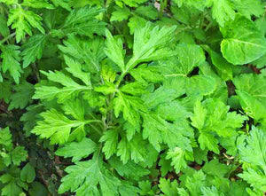Mugwort - Leaf - Certified Biodynamic and Organic