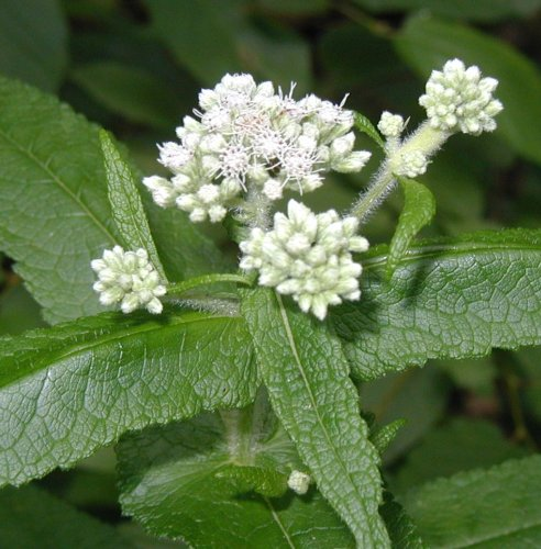 Boneset Leaf / Flower- Certified Biodynamic and Certified Organic