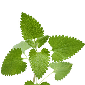 Catnip - Leaf Certified Biodynamic and Certified Organic