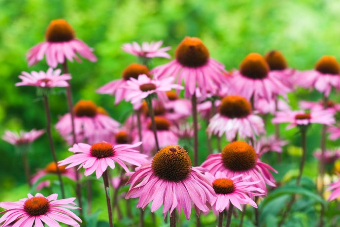 Echinacea Leaf / Flower- Certified Biodynamic and Certified Organic