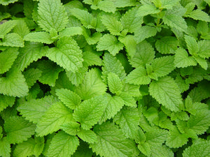 Lemon Balm Leaf- Certified Biodynamic and Certified Organic