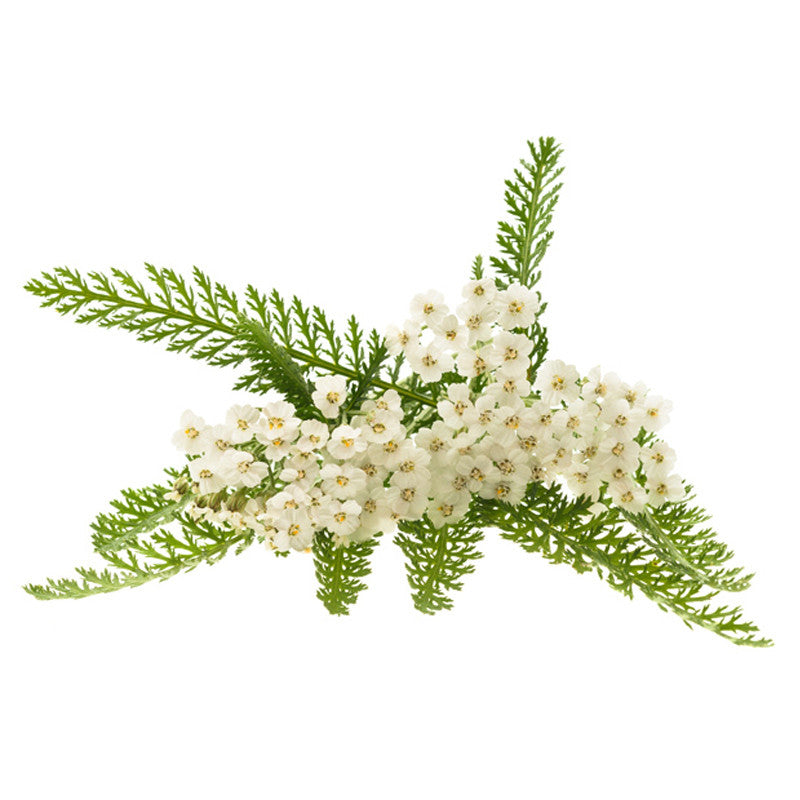 Yarrow Leaf / Flower- Certified Biodynamic and Certified Organic