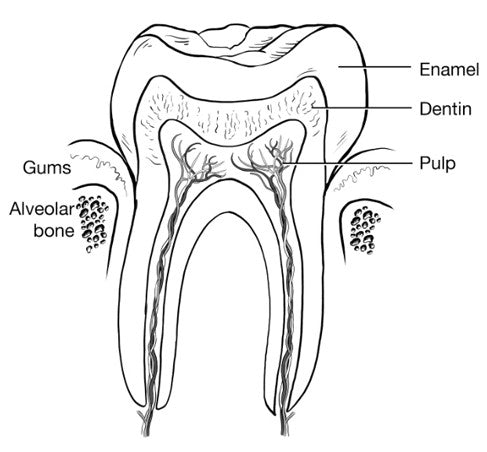 Diagram of a human tooth by layer, featuring enamel, dentin, pulp, gums and bone