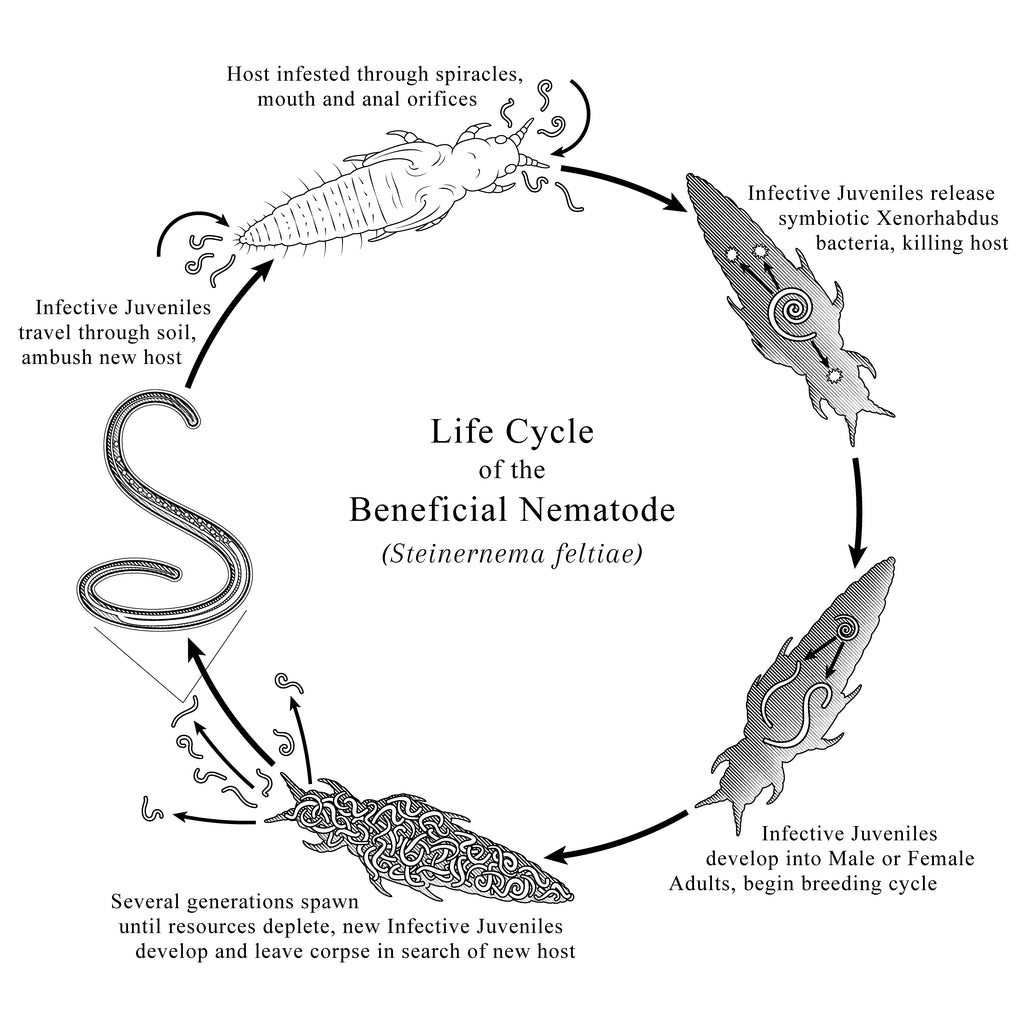 Beneficial Entomopathogenic Nematodes for Pest Control