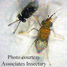 Anagyrus pseudococci