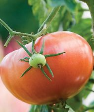 Tomatoes-Blight resistant for wet summers