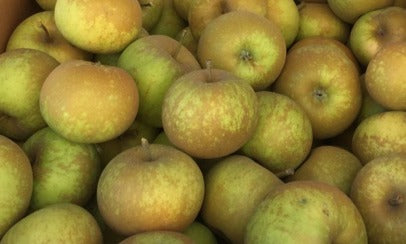 Apple tree-Golden Russet