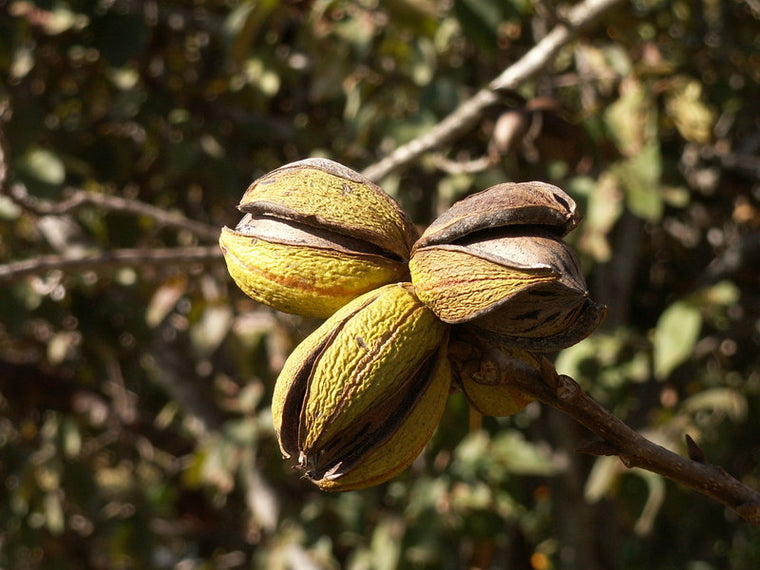Tree-Northern Pecan