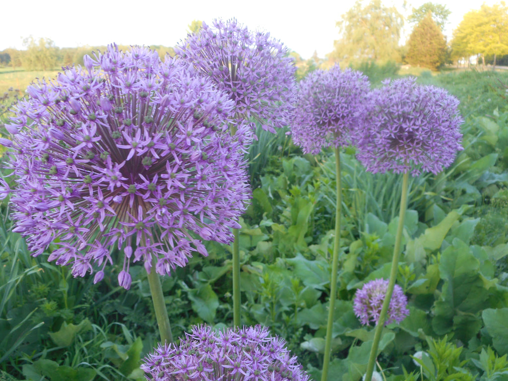 Allium-Purple Giant (Organic)