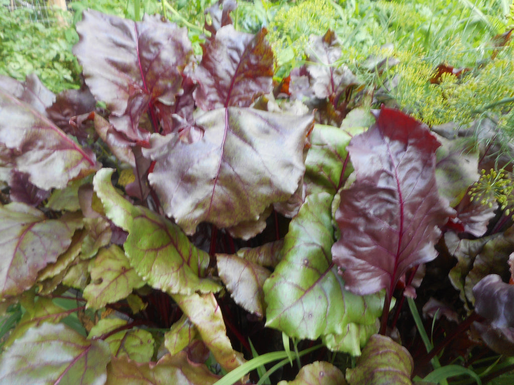 Beet-Purple Leaf (Organic)