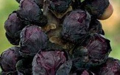 Brussel Sprouts-Burgundy (Organic)